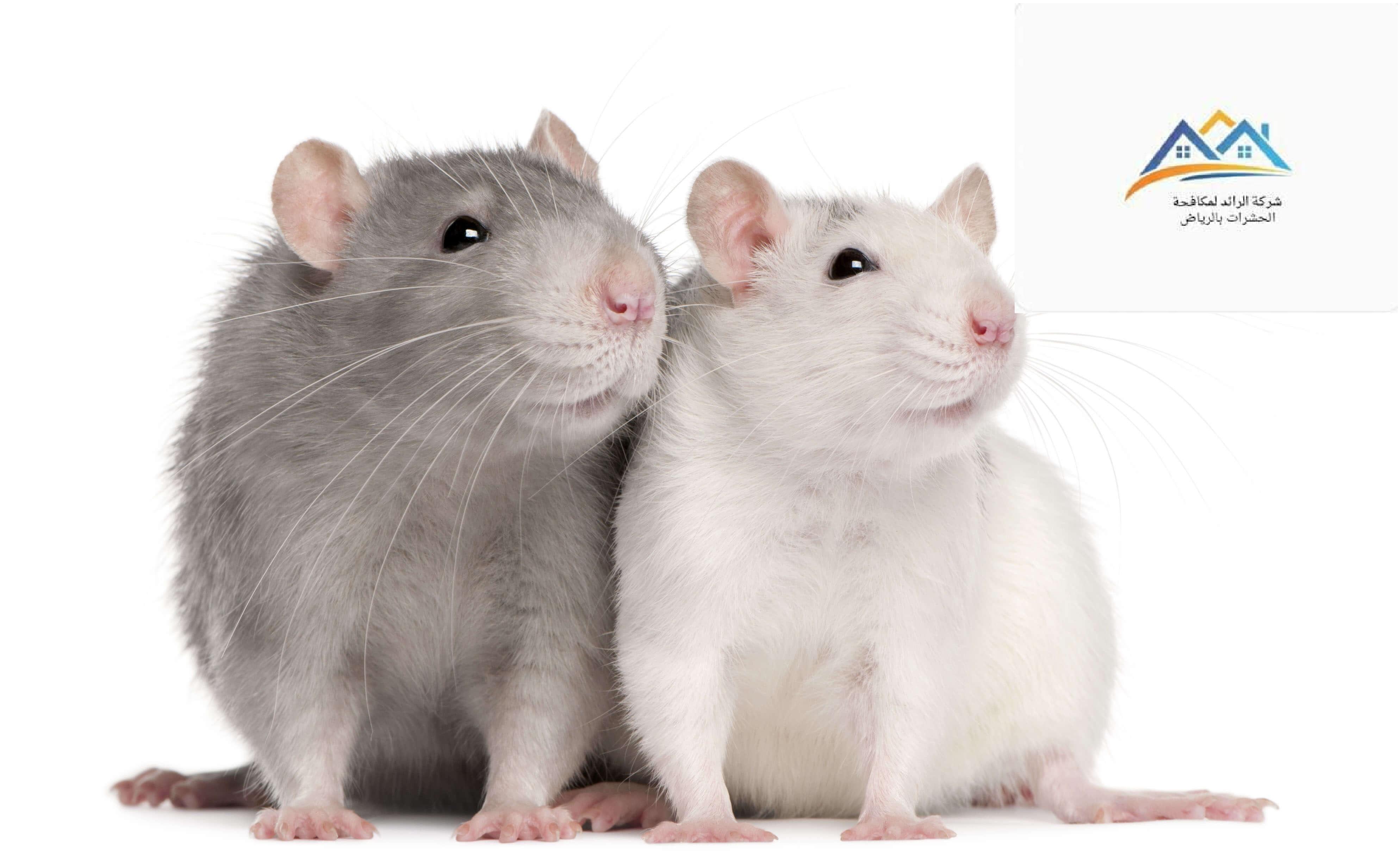 شركة مكافحة الفئران بالدمام11 - شركة مكافحة حشرات بالرياض