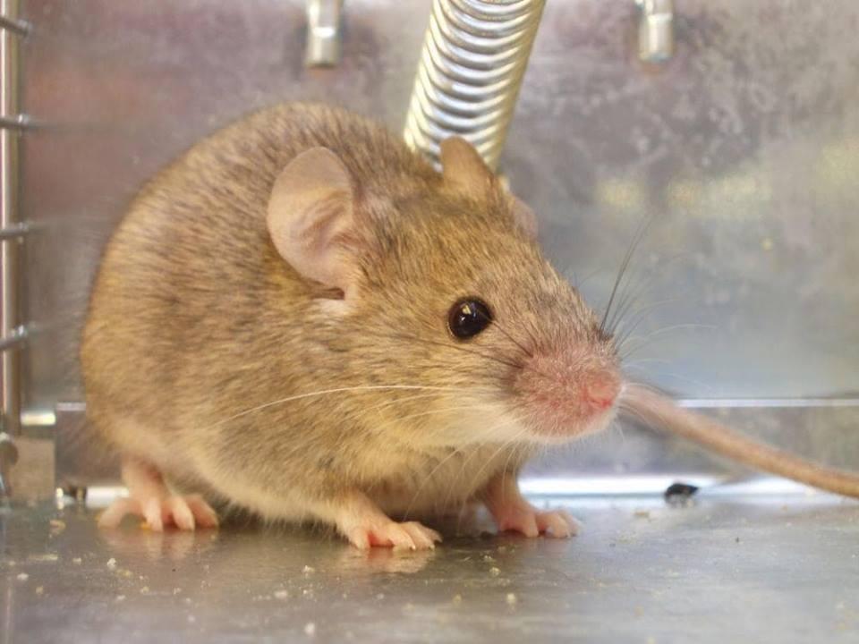 مكافحة فئران المنزل بالرياض