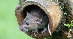شركة مكافحة فئران بجده