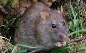 افضل شركة لمكافحة الفئران بالرياض